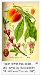 Botanical print by Otto Wilhelm Thome