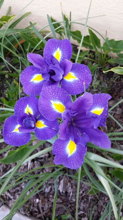 Iris in my Front Yard